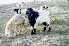 Мальтийсная коза, изображения козы, черные изображения козы, волосатые изображения козы, травы козы Стоковые Фото