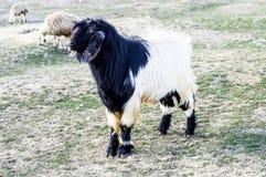 Мальтийсная коза, изображения козы, черные изображения козы, волосатые изображения козы, травы козы Стоковые Изображения