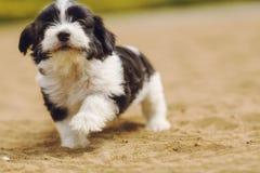 Мальтийсная пушистая собака младенца Стоковое Изображение