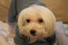 Мальтийсная собака нося его PJ Стоковая Фотография RF