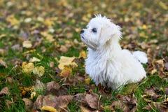 Мальтийсная собака сидя на листьях осени Стоковые Изображения