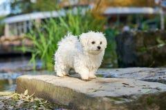 Мальтийсная собака стоя в солнце в парке Стоковое Фото
