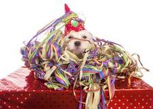 Мальтийсная собака с шляпой партии стоковое изображение