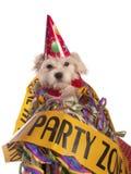 Мальтийсная собака с шляпой партии стоковое фото rf