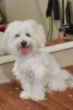 Мальтийсная собака, язык вставляя вне Стоковая Фотография RF