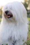 Мальтийсная собака Стоковое Изображение RF