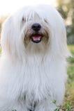 Мальтийсная собака Стоковые Изображения RF
