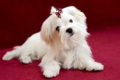 Мальтийсный щенок девушки на красной предпосылке Стоковое Фото