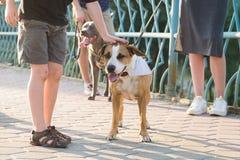 Мальчик ублажает дружелюбную собаку терьера Стаффордшира внешнюю Стоковые Изображения RF