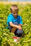 Мальчик в поле клубники Стоковая Фотография