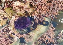 Мальчишка моря в отмелом бассейне прилива, подводном Стоковая Фотография RF