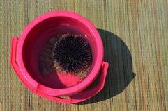 Мальчишка моря Echiinodea также вызвал ежа моря придержанный в розовом ведре при некоторые камни, помещенные на сладостном sunbed Стоковые Изображения RF