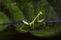 Малюсенький Mantis Стоковая Фотография