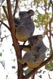 Медведи коалы Стоковые Фотографии RF