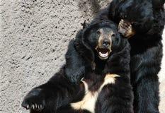 медведи Стоковое Изображение RF