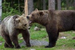 Медведи Brown в финских пущах Tiaga Стоковое Изображение