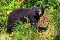 Медведь Аляски черный на травянистой тропке Стоковое Фото