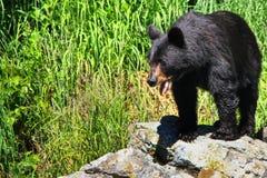 Медведь Аляски черный на утесистом Outcropping Стоковая Фотография