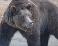 медведь большой Стоковые Фото