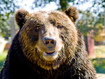 медведь большой стоковое фото
