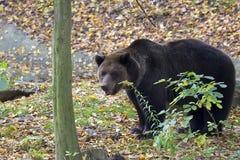 Медведь Брайна в пуще стоковые изображения