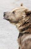 Медведь Брайна стоит на своих задних ногах Стоковые Фотографии RF