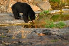 Медведь выпивая от пруда воды в утесе Одичалый медведь лени, ursinus Melursus, парк Ranthambore, Индия Медведь лени вытаращить ср Стоковое Фото