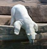медведь выпивая приполюсную воду Стоковое фото RF