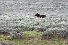 Медведь гризли мужской в долине Hayden в национальном парке Йеллоустона в Вайоминге США стоковое изображение rf