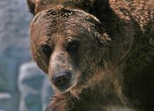 Медведь гризли Стоковые Изображения