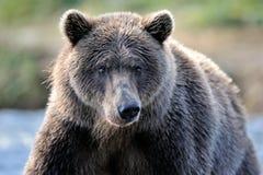 Медведь гризли Стоковая Фотография