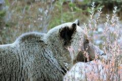 Медведь гризли Стоковое Фото