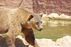 Медведь гуляя озером Стоковое Фото