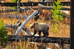 Медведь детенышей на национальном парке Йеллоустона стоковое фото