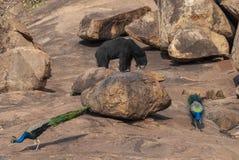 Медведь и павлины лени на святилище медведя Daroji, Karnataka, Индии стоковое изображение rf
