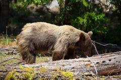 Медведь Калифорнии черный в секвойе NP, США стоковые фото