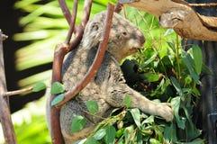 Медведь коалы - как раз положенный назад Стоковая Фотография