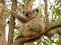 Медведь коалы Стоковое Изображение RF