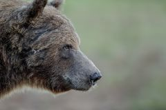 Медведь конца-вверх смотря средний стоковое фото rf
