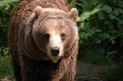 медведь коричневая Польша Стоковые Изображения