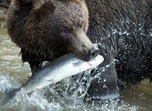 медведь коричневый kamchatka стоковое фото rf