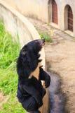 Медведь крупного плана черный сидит на взглядах барьера на банане в зоопарке Стоковые Фотографии RF