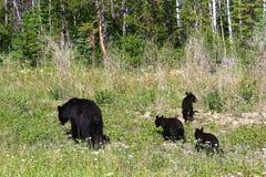 Медведь матери и 3 новичка фуражируют на краю леса стоковые фотографии rf