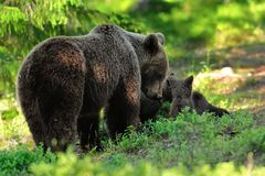 Медведь матери с новичками Медведь Momma с новичками стоковые фото