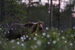 Медведь на восходе солнца Молодой бурый медведь на summe Стоковая Фотография RF