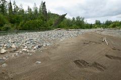 Медведь печатает вдоль банка реки Kipchuk Стоковые Изображения RF