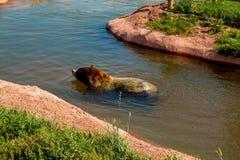 Медведь плавая в пруде в парке графства медведя, быстром городе, SD, США стоковая фотография