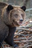 Медведь портрета в лесе осени стоковые изображения rf