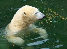 медведь приполюсный Стоковое Фото