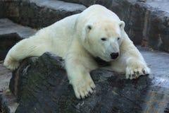 медведь приполюсный Стоковое Изображение
